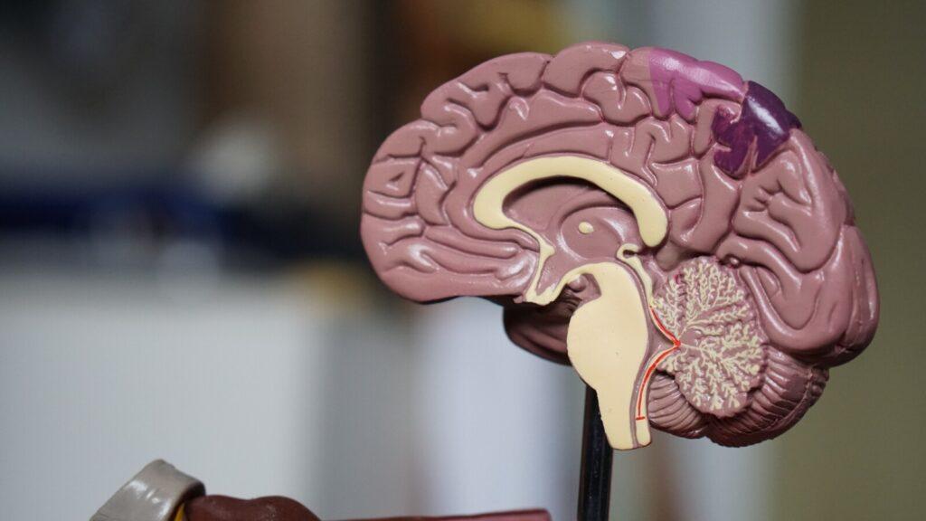 Høyre og venstre hjernehalvdel